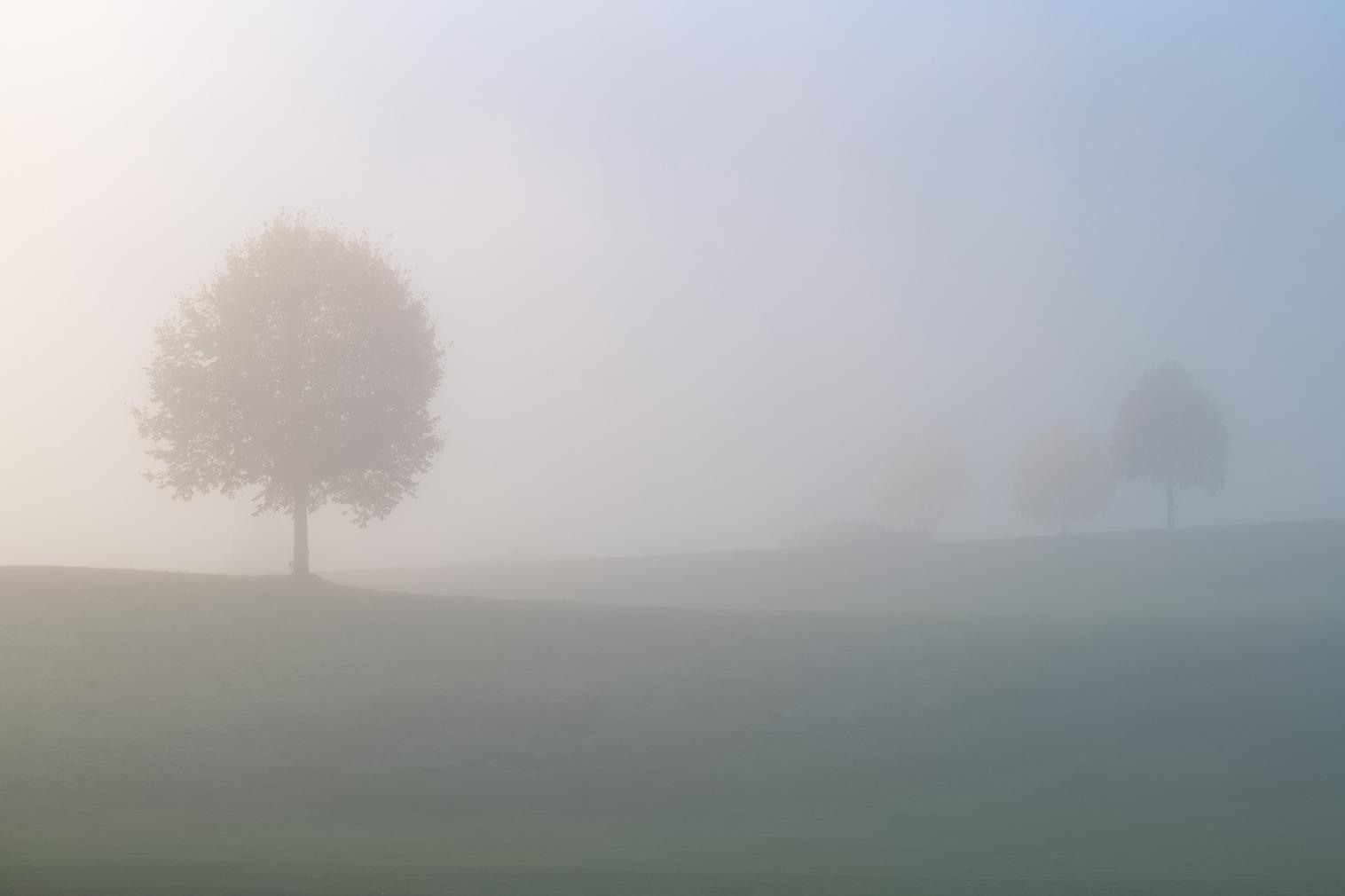 trees on a foggy field